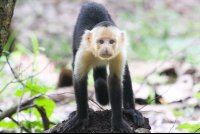 capuchin monkey straight crawl curu