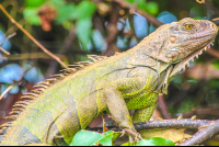 iguana close up perched on sierpe mangler