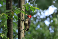 carara national park wood pecker 