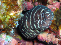 striped eel 