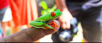 Red eyed green tree frog perching on a tour guide's finger