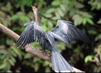 Anhinga Drying its Winds in the Frio River