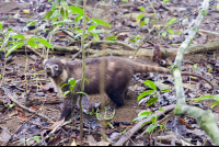 coati roaming around the sirena ranger station