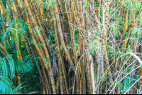 bambu tree on the riverbanks sierpe mangler