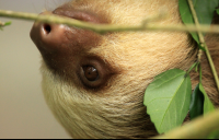 A young two toed sloth crawls along a branch