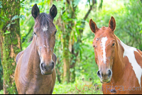 horses face close up at juncos lake horseback  - Costa Rica