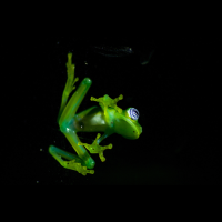 glass frog sticked to a window monteverde
