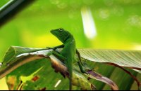 Green anole perched on a leaf