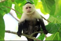 Capuchin monkey sitting in a tree inside Cahuita National Park