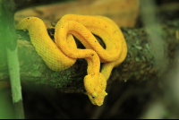 cahuita national park attraction page golden eyelash pal pit viper 