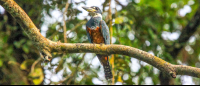 A ringed kingfisher perching on a tree branch above the Palma Canal