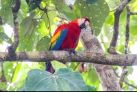 macaw standing on a tree branch sierpe mangler