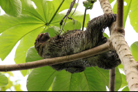 Three toed sloth reclining in a cecropia tree  - Costa Rica