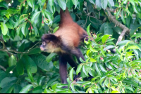 spider monkey at san pedrillo ranger station corcovado national park