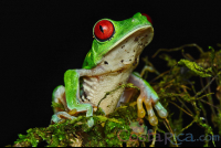 red eyed green tree frog perched on a branch during the night