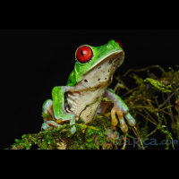 red eyed green tree frog perched on a branch during the night  - Costa Rica