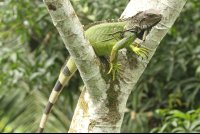 green iguana on top of a tree branch at gringo curts restaurant