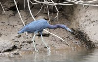 Little Blue Heron Wading in Shallow Water