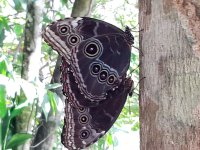 matting butterflies