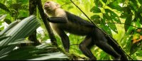 tortuguero national park attraction capuchin 
