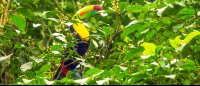 tortuguero destination toucan 