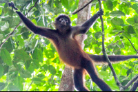 spider monkey holding on tree branches in sirena ranger station corcovado
