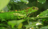 Green iguana camouflaging amongst the foliage