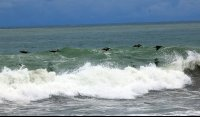 dominical beach attraction pelicans 
