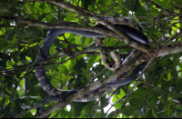 Oriole Snake Hanging out in a Tree