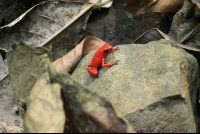 kekoldi reserve strawberry dart frog 