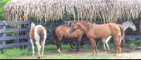 horses in a ranch  - Costa Rica