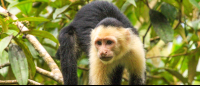 Capuchin monkey looking for fruit in the trees