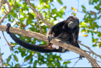 howler monkey on a branch at cabo blanco reserve