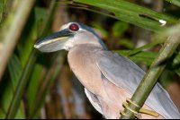 boat billed heron cochlearious cochlearious