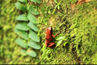 gandoca manzanillo wildlife refuge strawberry poison dart frog 