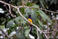 Black Headed Trogon Lands on a Branch
