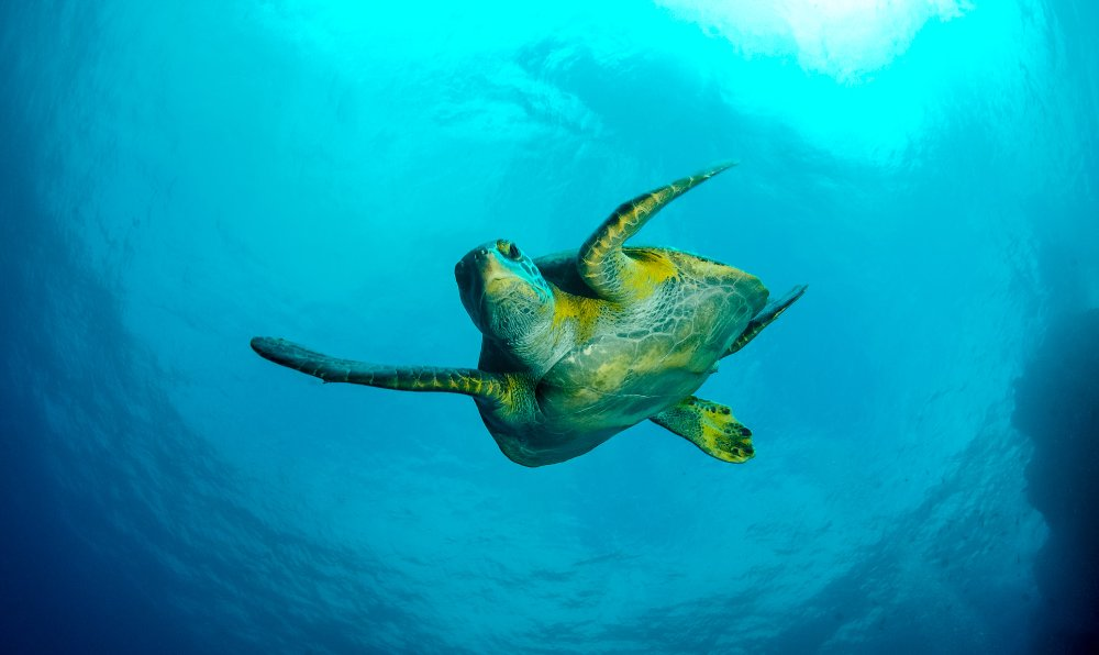green sea turtle swimming in the ocean cocos island