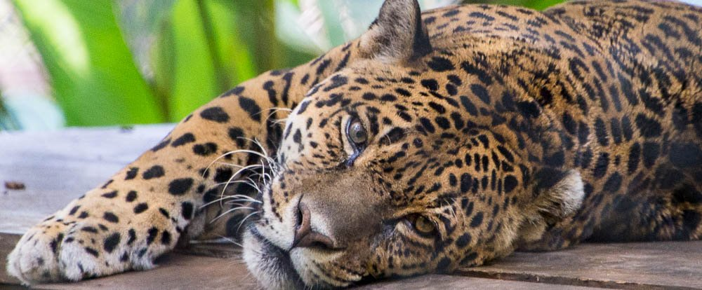 jaguar lying down face parque simon bolivar san jose