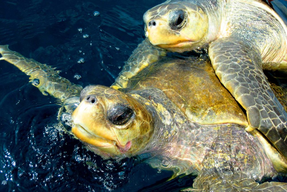 Olive Ridley Turtles Mating Ocean Coco Beach Costa Rica