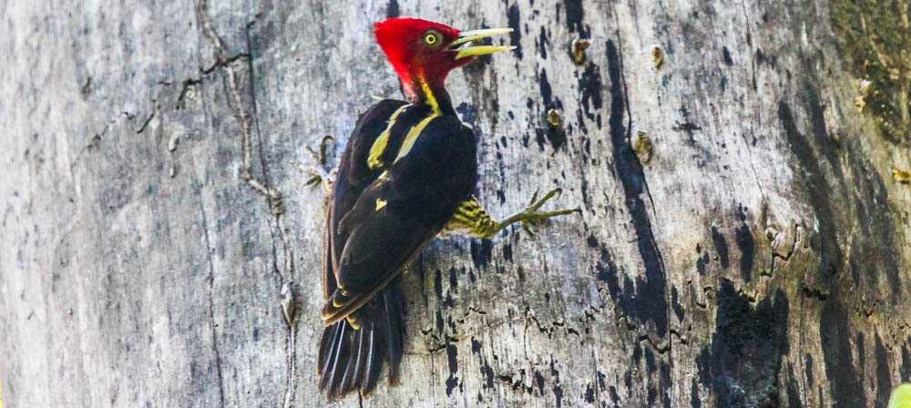 woodpecker stairing at the camera