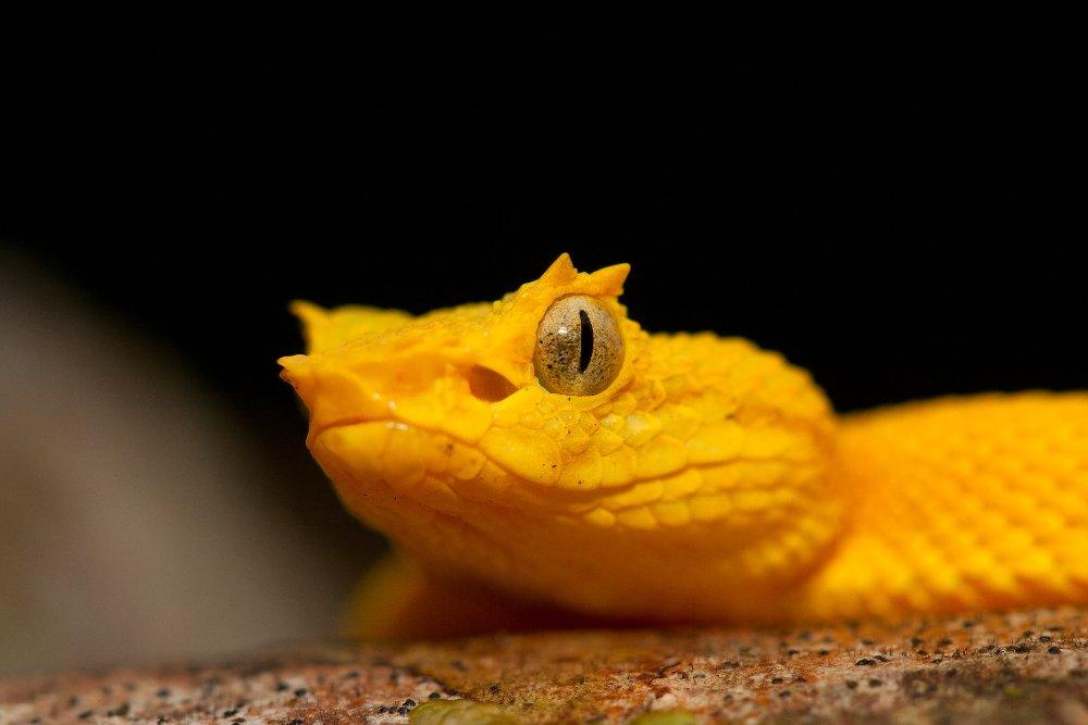 Pitviper Snake Face Closeup At Cahuita National Park