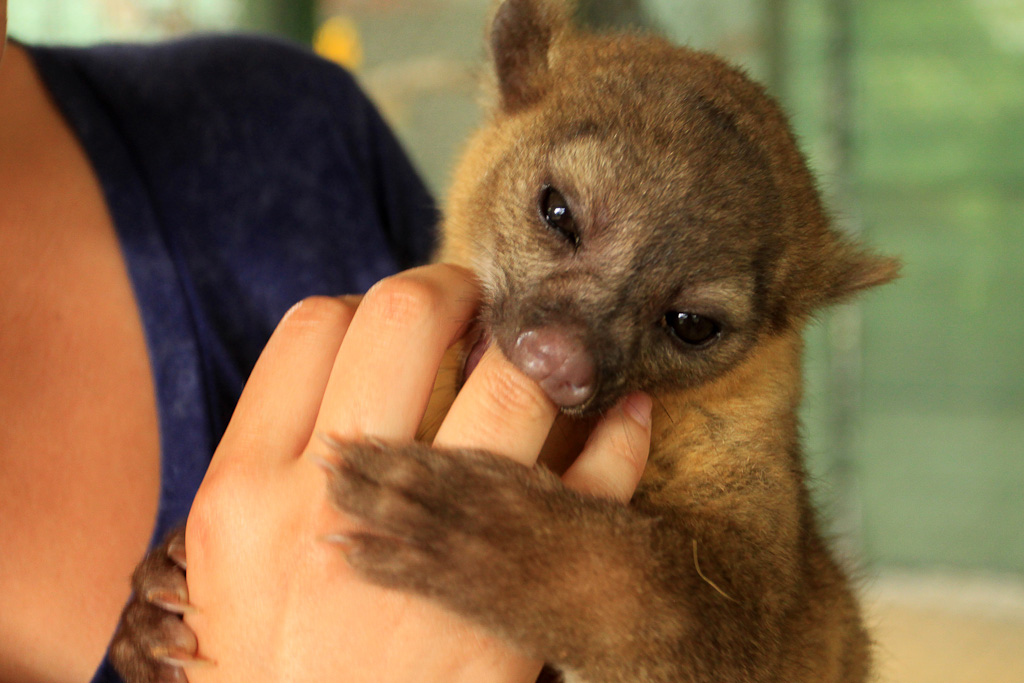 osa animal shelter blog young kinkajou 