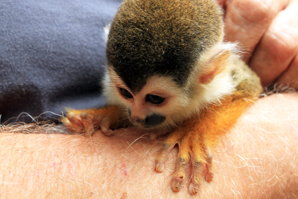osa animal shelter blog titi monkey small hands 