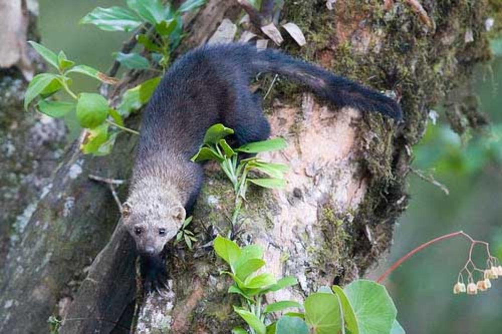 tayra on tree trunk   - Costa Rica