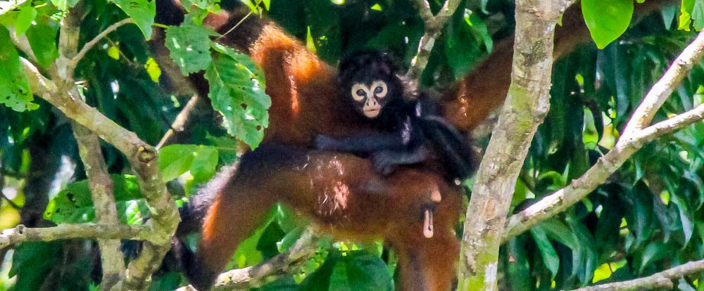spider monkey with baby on her back san pedrillo ranger station corcovado national park