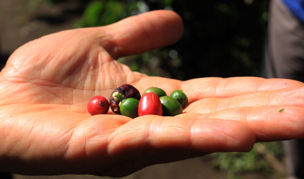 monteverde coffee farm fruit 