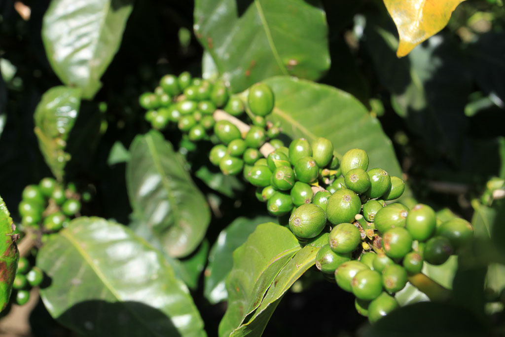 monteverde coffee farm green fruit 