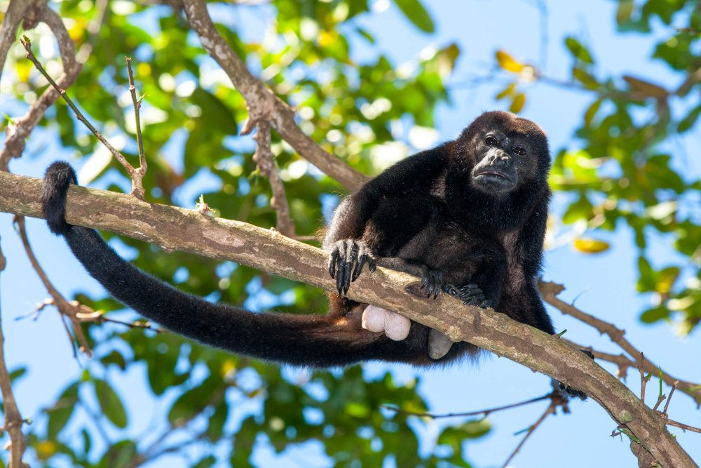 howler monkey on a branch at cabo blanco reserve  - Costa Rica