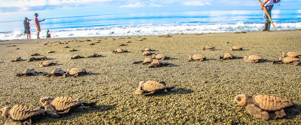 turtle sprinting to the ocean at playa piro