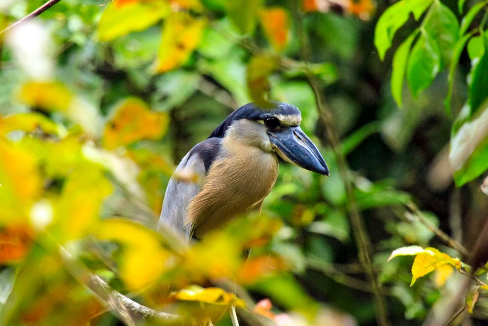 turtle beach lodge boat billed heron